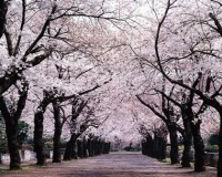 cherry-blossom-trees1